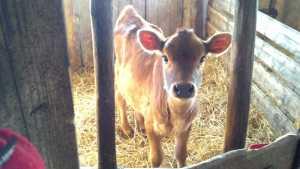 Calf 3