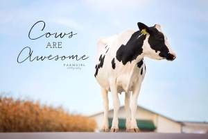 Cows are awesome