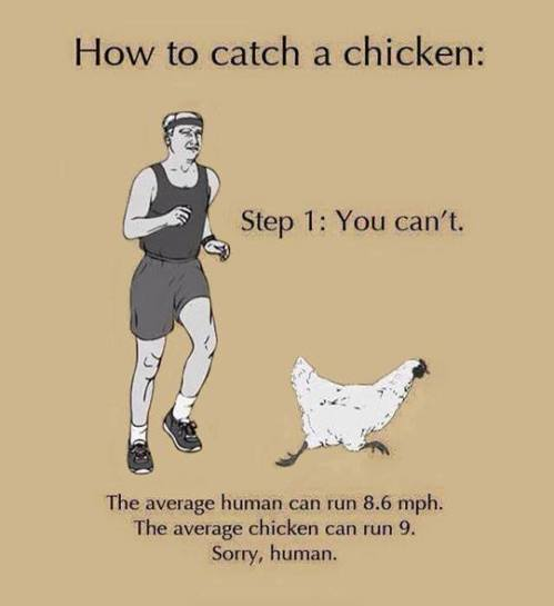 catch a chicken